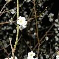 Photos: 夜の梅