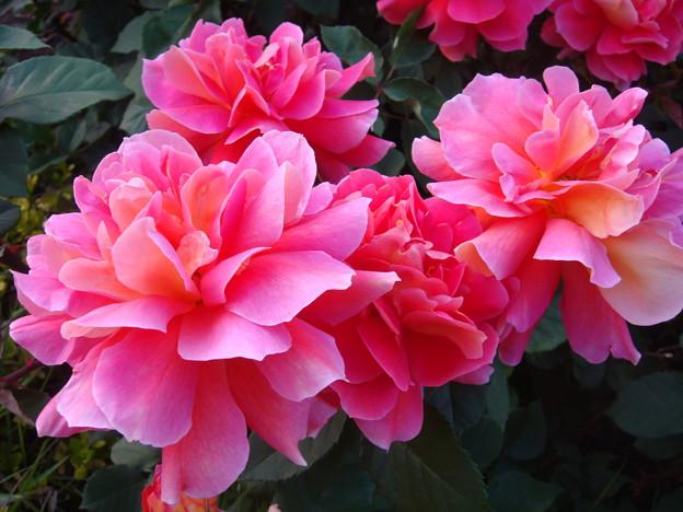 バラ(薔薇)HT オータム