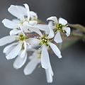 Downey Serviceberry 4-18-12