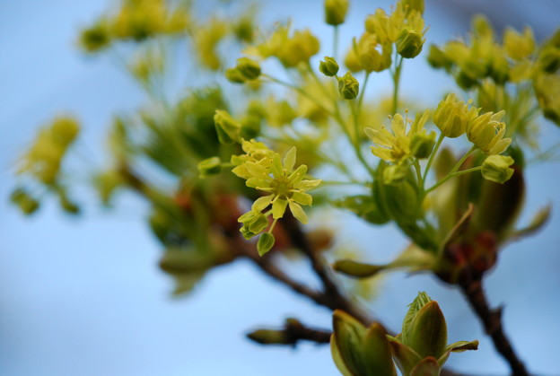 Norwey Maple Flowers 4-19-12