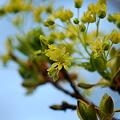 写真: Norwey Maple Flowers 4-19-12