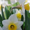 Daffodils_W and Y