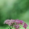 Photos: Japanese Spiraea