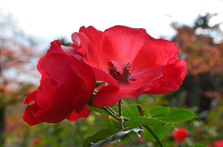 夙川公園(花)