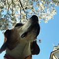 写真: マリンと桜と家と青空その2