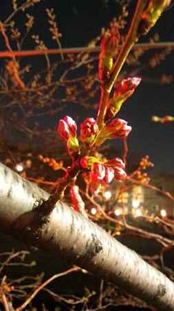 夜桜(開花前)