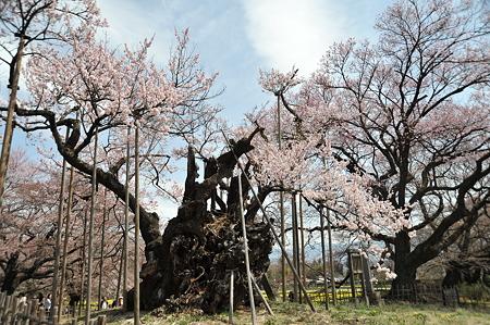 山高神代桜_4