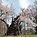 写真: 山高神代桜_4