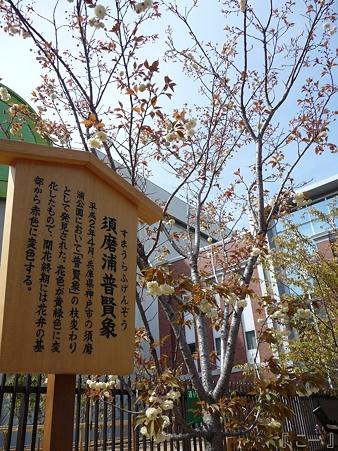 110417-造幣局 桜の通り抜け (86)