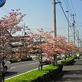 松山はなみずき通り4