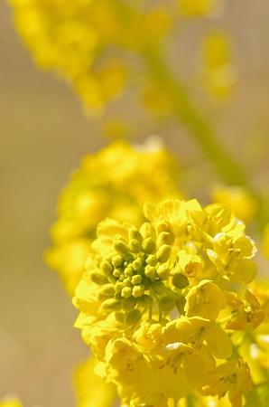 黄花絢爛。