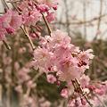写真: 八重桜?