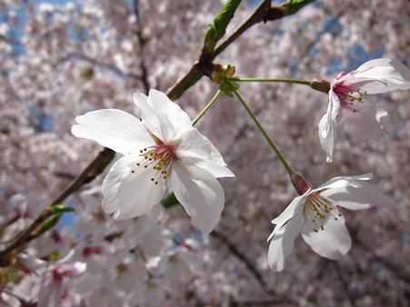 桜咲くらぁ♪