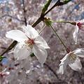 Photos: 桜咲くらぁ♪