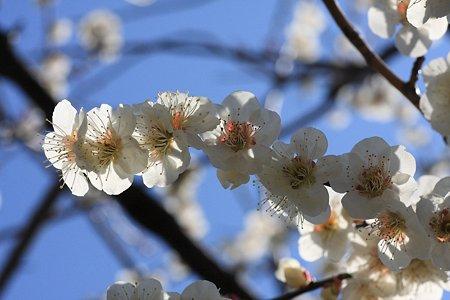 2012.03.21 和泉川 ウメ 連花