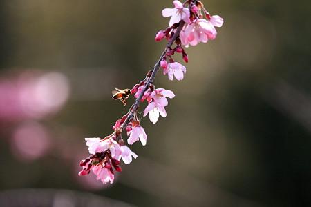 2012.04.06 和泉川 シダレザクラとミツバチ