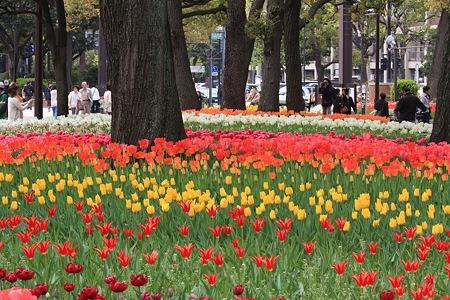2012.04.19 横浜公園 チューリップ 撮る