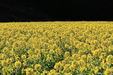 2011.03.17 追分市民の森 菜の花