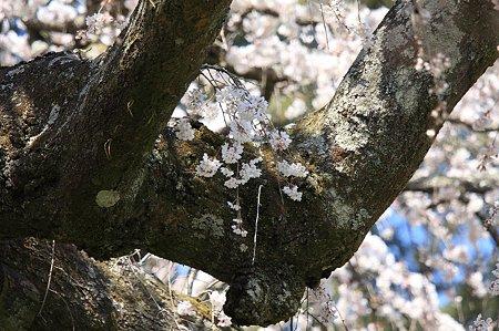 2011.04.06 入生田 長興山紹太寺 枝垂桜 老木に鞭
