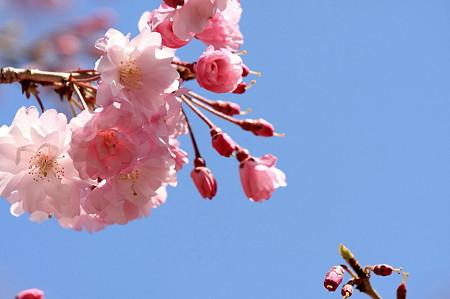 2011.04.13 和泉川 枝垂れ八重さくら