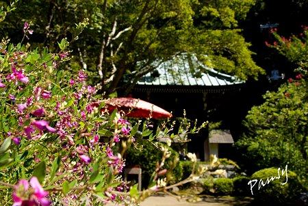 萩咲く海蔵寺・・6