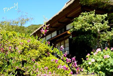 萩咲く海蔵寺・・7