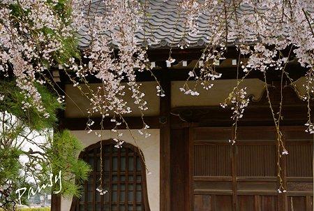 しだれ桜・・本覚寺 1