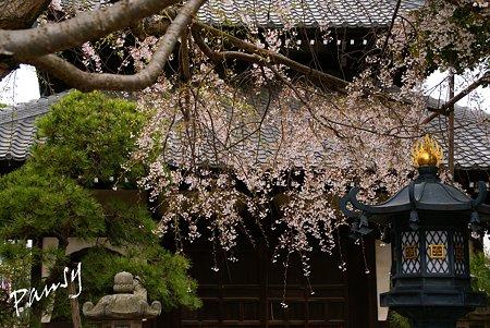 しだれ桜・・本覚寺 2