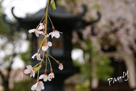 しだれ桜・・本覚寺 3