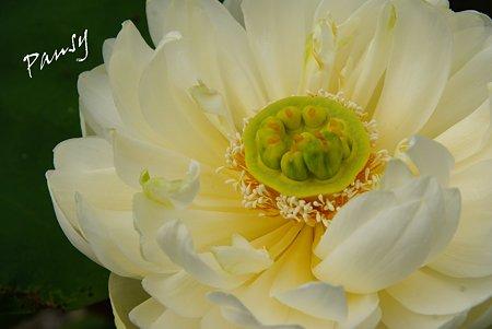 蓮の花・・6