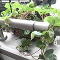 写真: 苺が凄く育っているのだけど、これって鉢を増やした方がいいのかな?