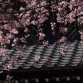 Photos: 枝垂れ桜、本覚寺!