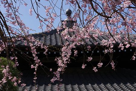 枝垂れ桜、本覚寺2!