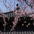Photos: 枝垂れ桜、本覚寺2!