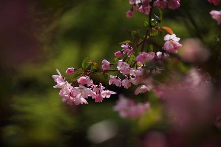海棠の花が彩る鎌倉2012!