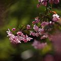 Photos: 海棠の花が彩る鎌倉2012!