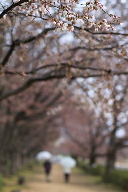 Photos: 後楽園 桜並木