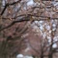 後楽園 桜並木