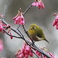 Photos: 110309-3寒緋桜とメジロ