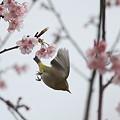 Photos: 110324-5サクラを飛ぶ2