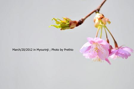 妙林寺 河津桜 (1)