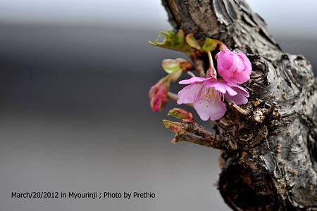 河津桜 幹桜