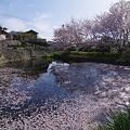Photos: 桜の池