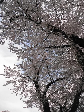 大田原の桜