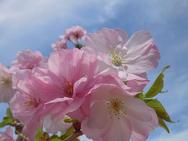 桜の森の楊貴妃あでやか♪