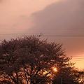 Photos: 桜に沈む夕日