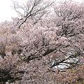 一心行の大桜~残念ながらかなり散っていた(2)