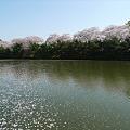 舞鶴公園の桜(8)