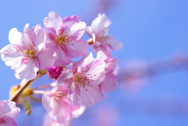 早春の河津桜
