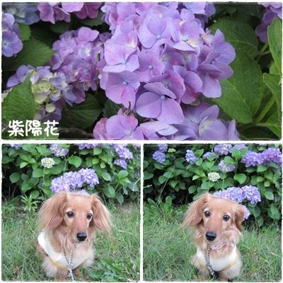 20110614 紫陽花